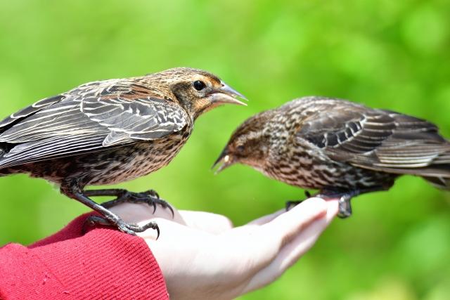 飼い鳥の食事