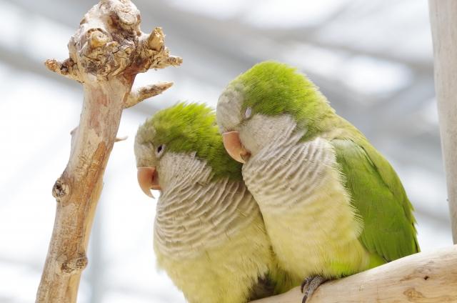 飼い鳥の発情